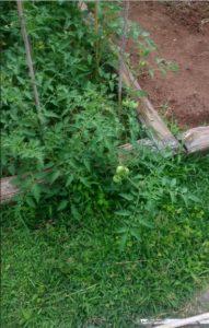 Beginner Tip: Using Zip Ties To Control Your Tomatoes