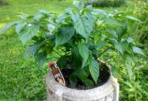 Ghost Pepper Update – July 13 – THE GHOSTS HAVE APPEARED!